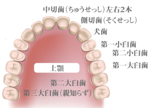 歯の名称2-3
