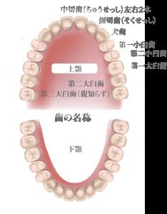 歯の名称2-2